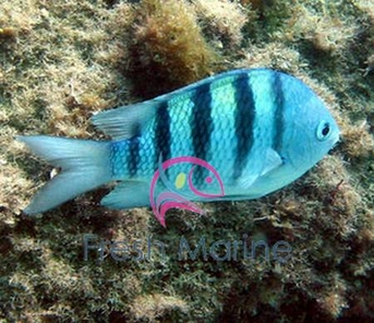 Striped Damselfish | Freshmarine Com Sergeant Major Damsel Abudefduf Saxatilis Buy