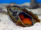 Shark Egg - Chiloscyllium Punctatum - Cat Shark - Banded Cat Shark Egg