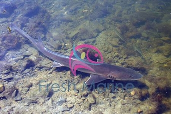 Smooth Hound Shark - Mustelus californicus - Grey Smooth Hound Shark
