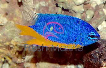 South Seas Devil Damsel Fish - Chrysiptera taupou - Blue Fiji Devil - Fiji Blue Devil Damselfish
