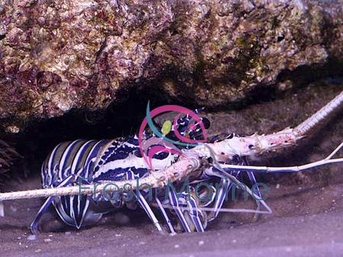 Spiny Blue Lobster - Panulirus versicolor - Spiny Lobsters