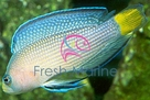 Splendid Dotty back fish - Pseudochromis splendens - Allen's Dottyback Fish