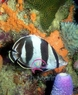 Spot-Banded Butterfly Fish - Chaetodon punctatofasciatus - Dot Dash Butterfly - Spotbanded