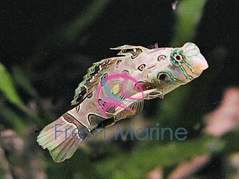 Spotted Mandarin Goby Fish - Synchiropus picturatus - Dragonet Yellow Target Mandarin Fish