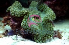 Squamosa Clam Cultured - Tridacna squamosa - Scaled Clam