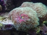 Star Polyps - Green Assorted - Eight Tentacle Polyps - Encrusting Pipe Coral - Encrusting Star Polyp