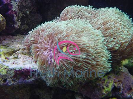 Star Polyps   Green Assorted   Eight Tentacle Polyps   Encrusting Pipe  Coral   Encrusting Star PolypFreshMarine com   Star Polyps   Clavularia species   Eight  . Green Star Polyp Lighting Requirements. Home Design Ideas