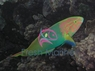 Sunset Wrasse - Thalassoma lutescens male - Banana Wrasse - Yellow Moon Wrasse