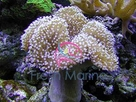 Toadstool Leather - Sarcophyton species - Mushroom Sarcophyton Leather - Elegant Umbrella Leather Coral - Mushroom Leather Coral