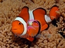 True Percula Clown Fish - Amphiprion percula - Clown Anemonefish - True Percula Clownfish