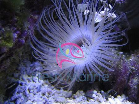 how to take care of anemone