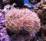 Turbinaria Coral - Turbinaria species - Yellow Cup Coral - Bowl Coral - Lettuce Coral - Octopus Coral - Vase Coral - Scroll Coral - Ruffled Ridge Coral