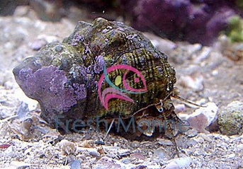 Turbo Snail Mexican - Turbo fluctuosa - Turbo Grazer