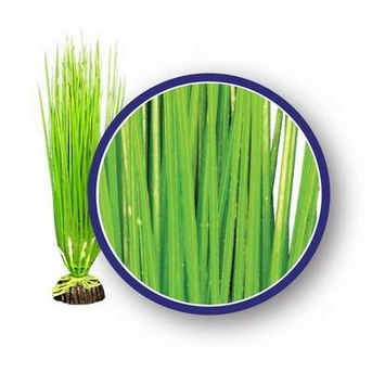 Weco Freshwater Series Asian Hairgrass 12in