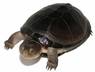 West African Side Necked Turtles - Pelusious castaneus - West African Turtles