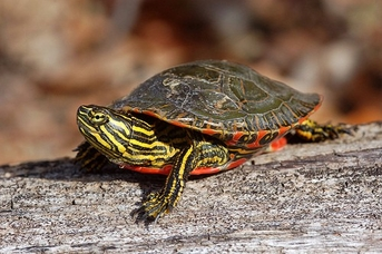 Western Painted Turtles - Chrysemys picta bellii