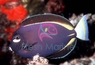 White Cheek Tang - Acanthurus nigricans - Whitecheek - Powder Brown - Gold-Rimmed Surgeon Fish