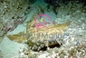 Wobbygong Shark - Orectobobus species - Japanese Wobbegong