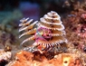 Xmas Tree Worm Rock - Spirobranchus species - Bisma Rock - Multicolor Worms - Plume Rock - Christmas Tree Worm