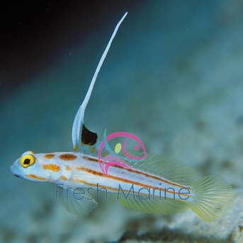 Yasha Hase Shrimp Goby - Stonogobiops species - Candy Stripe Goby - Whiteray Shrimp Goby