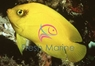 Yellow Angelfish - Centropyge heraldi - Herald's Angel Fish