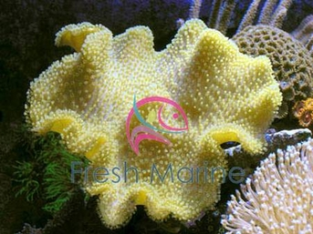 Yellow Fiji Leather - Sarcophyton species - Yellow Leather Coral - Umbrella Leather - Elegant Leather Coral - Mushroom Leather Coral