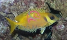 Yellow Foxface Rabbitfish - Siganus Corallinus - Siganus tetrazonus - Blue Spotted Fox face Rabbit Fish
