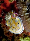Yellow Lettuce Nudibranch - Bryopsis - Eating Nudibranch - Tridachia crispata - Lettuce Sea Slug
