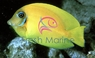 Yellow Mimic Tang - Mimic Lemon Peel Tang - Acanthurus pyroferus - Chocolate Surgeon - Mimic Surgeon - Yellow Mimic