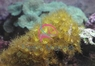 Yellow Polyp - Parazoanthus species - Yellow Colony Polyp - Bali Polyps - Ballet Dancer Polyps - Yellow Encrusting Anemones