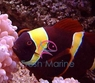 Yellow Stripe Maroon Clown Fish - Premnas biaculeatus - Maroon Anemonefish - Spinecheek Anemonefish - Maroon Gold Stripe Clownfish