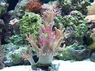 Young Soft Coral - Cladiella species - Young Finger Leather Coral - Blushing Coral - Cauliflower Coral
