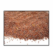Organic BROWN MUSTARD SEED (best for sprouting) - 25 LBS
