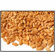 Organic HARD RED SPRING (BAKING) WHEAT BERRIES - 2 LBS