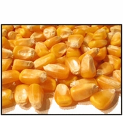 Organic WHOLE KERNEL YELLOW CORN - 5 LBS - OUT OF STOCK