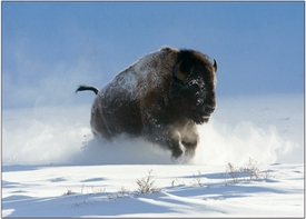 Bison Charging Through Snow<br>Boxed Set