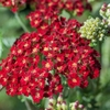 "achillea Desert Eve Red [18""]"