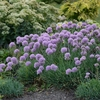"allium Blue Eddy [12""]"