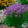 "allium Millennium [20""]<br>EDIBLE HERB!<BR>^^^ OVERSTOCKED! ^^^"