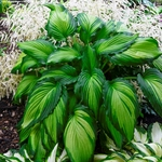 Angel Falls<BR>SMALL STARTER PLANT