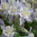 "aquilegia Blue Bird [28""]"