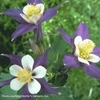 "aquilegia Blue Jay [28""]<br>*** TRIMMED ***"