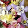 Aquilegia<br>CURRENT AVAILABILITY