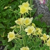 "aquilegia Goldfinch [28""]"