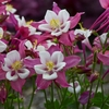 "aquilegia Robin [28""]<br>^^^ SOLD OUT ^^^"