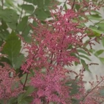 "astilbe Aphrodite [16""]<br>^^^ SOLD OUT ^^^"