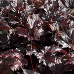 "astilbe Chocolate Shogun [24""]"