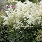 "astilbe Deutschland [30""]<br>^^^ SOLD OUT ^^^"