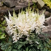 "astilbe Ellie [30""]<br>^^^ SOLD OUT ^^^"