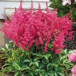 "astilbe Little Red Rooster [16""]"